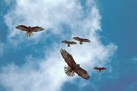 Galapagos hawk Buteo galapagoensis, five individuals, hovering, against cloudy sky, Ekuador, Galapagos Islands