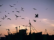 Sea gulls flying over fishing boats at dusk in the harbor