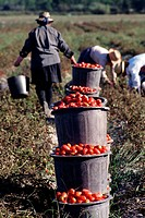 Workers picking tomatoes