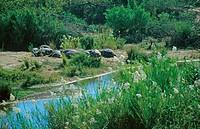 hippopotamus or hippo Hippopotamus amphibius, a group resting on the river shore, Mpumalanga