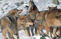 European gray wolf Canis lupus lupus, pack of wolves