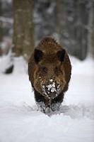Male Wild Boar (Sus scrofa), running through deep snow during snowfall and fog, Swabian Alb, Baden-Wuerttemberg, Germany, Europe