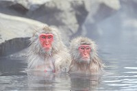 Japanese macaque, snow monkey Macaca fuscata, pair, sitting side by side in warm spring, Japan, Joshin_Etsu Kogen NP