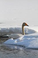 A whooper swan.