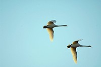 Whooper swans Cygnus cygnus flying.