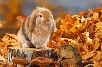 Lop_eared Dwarf Rabbit / Domestic Rabbit