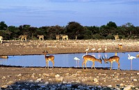 Antelope and Flamingoes by lake