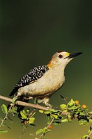 Golden_fronted Woodpecker Melanerpes aurifrons, male on Desert Hackberry Celtis pallida, Willacy County, Rio Grande Valley, South Texas, USA