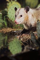 Virginia Opossum (Didelphis virginiana), adult at night drinking, Uvalde County, Hill Country, Central Texas, USA
