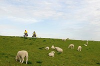 Cyclists and sheep on a dike by Hamburger Hallig, North Frisia, North Sea, Schleswig_Holstein, Germany, Europe