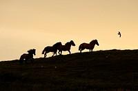 Islandic horse, Iceland pony Equus przewalskii f. caballus, herd in backlight, Iceland
