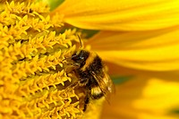 carder bee, common carder bee Bombus pascuorum, Bombus agrorum, single animal on a sunflower, Germany, NRW