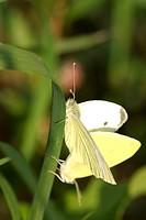 large white Pieris brassicae, copulation, Germany