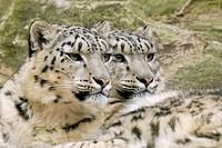 snow leopard Uncia uncia, Panthera uncia, portrait of two individuals