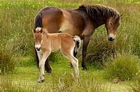 Exmoor pony Equus przewalskii f. caballus, Netherlands, Texel