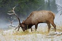 Elk, Wapiti (Cervus elaphus), bull in snow, Yellowstone National Park, Wyoming, USA