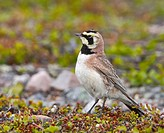 shore horned lark Eremophila alpestris, male, Norway, Varanger Peninsula