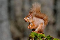 European red squirrel, Eurasian red squirrel Sciurus vulgaris, with a nut in its mouth, United Kingdom, Scotland, Highlands