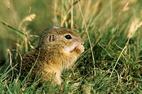European ground squirrel, European suslik, European souslik Citellus citellus, Spermophilus citellus, cub, Hungary, Puzsta