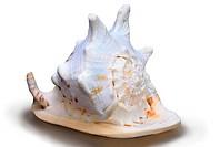 horned helmet, giant helmet Cassis cornuta, shell