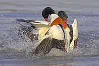 common shelduck Tadorna tadorna, two drakes fighting, United Kingdom
