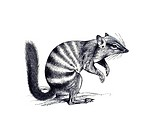 Woodcut, Numbat (Myrmecobius fasciatus)