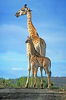 giraffe Giraffa camelopardalis, Mother with calf, South Africa, Kwazulu_Natal, Itala Game Reserve