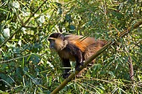 Golden Monkey, Golden Guenon Cercopithecus mitis kandti, Cercopithecus kandti, on a tree, Rwanda, Parc National des Volcans