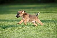 Westfalia / Westfalen Terrier, puppy running across garden lawn, Germany
