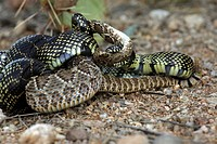 Common Kingsnake (Lampropeltus getula) eating Mohave Rattlesnake (Crotalus scutulatus), close-up , Arizona, USA