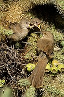 Curve-billed Thrashers (Toxostoma curvirostre), adult tending young on nest, Arizona, USA - The most common desert thrasher - Resident southwest U S t...