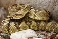 Black-tailed Rattlesnake (Crotalus molossus), Chiricahua Mountains, Arizona, USA - ´Smelling´ or ´tasting´ the air with its tongue - Found in Texas-Ne...