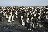 king penguin Aptenodytes patagonicus, breeding colony, Antarctica, Suedgeorgien