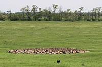 Walachian Ovis ammon f. aries, herd in landscape, Hungary, Neusiedler See, Nationalpark Fertoe_Hanság