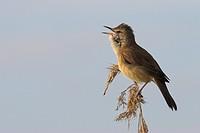 great reed warbler Acrocephalus arundinaceus, singing, Austria, Burgenland, NP Neusiedler See_Seewinkel