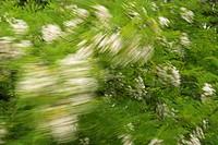 common locust, black locust, robinia Robinia pseudoacacia, in wind, Austria, Naturpark Neusiedler See