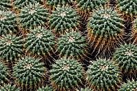 Compressed Cactus Mammillaria compressa
