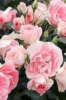 rose Rosa ´Jetset´, Rosa jetset, Rosa ´Jet Set´, Rosa Jet Set, blossoms