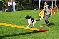 English Springer Spaniel Canis lupus f. familiaris, on teeter_totter, Germany