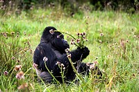 mountain gorilla Gorilla gorilla beringei, eating thistle, Rwanda, Virunga Volcanoes Mountains, Volcano National park