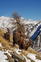 alpine ibex Capra ibex, ibex in winter, Italy, Gran Paradiso Nationalpark