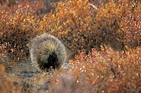 North American Porcupine Erethizon dorsatum, Denali National Park, USA, front view