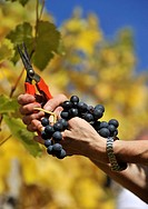 Hands picking grapes, hillside, Stuttgart, Baden-Wuerttemberg, Germany, Europe