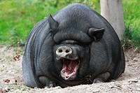 Vietnamese Pot-bellied Pig yawning