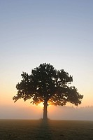 Pedunculate Oak Quercus robur at sunrise