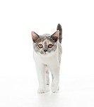 British Shorthair cat _ kitten _ standing _ cut out