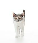 British Shorthair cat _ kitten _ standing _ cut out