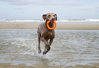 Weimaraner dog _ running in the water