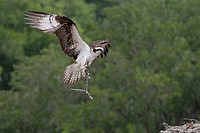 Osprey Pandion haliaetus landing in its nest
