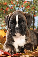 Boxer dog _ puppy lying on autumn foliage
